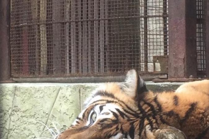 Fort Boyard 2015 : Un tigre dans la Salle du Trésor (19/05/2015)