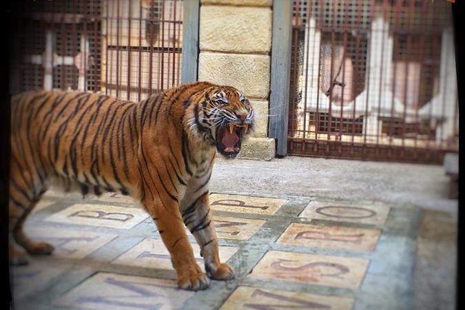 Fort Boyard 2016 - Tigre dans la Salle du Trésor (09/06/2016)