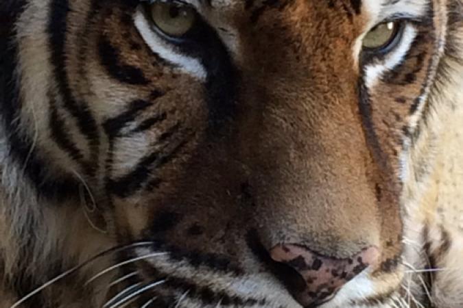 Fort Boyard 2016 - Tigre