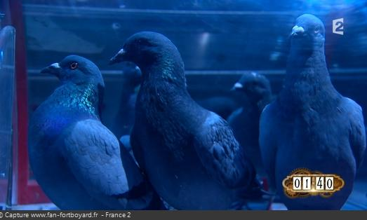 Les animaux de Fort Boyard - Les pigeons