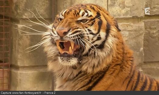 Les animaux de Fort Boyard - Les tigres