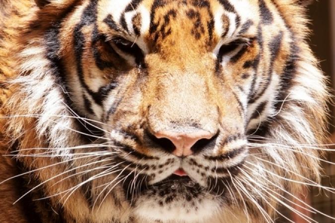 Fort Boyard 2012 - Tigre