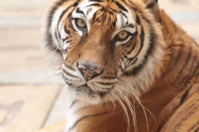 Fort Boyard 2015 - Tigre