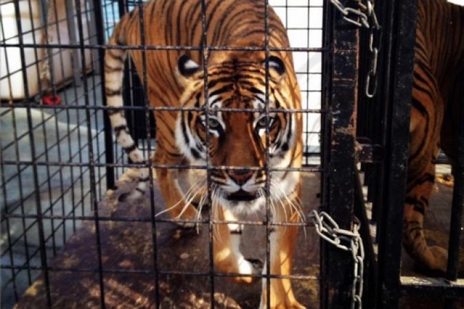 Fort Boyard 2015 : Arrivée des tigres (11/05/2015)