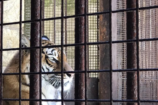 Fort Boyard 2017 - Un tigre (24/05/2017)