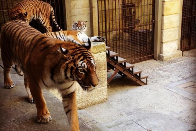 Fort Boyard 2017 - Les tigres dans la Salle du Trésor (26/05/2017)