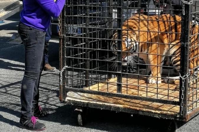 Fort Boyard 2019 - Arrivée des tigres sur le fort (29/04/2019)