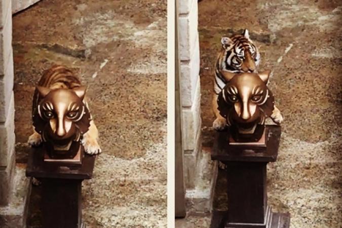 Fort Boyard 2019 - Un tigre s'amuse avec la tête de tigre (04/05/2019)