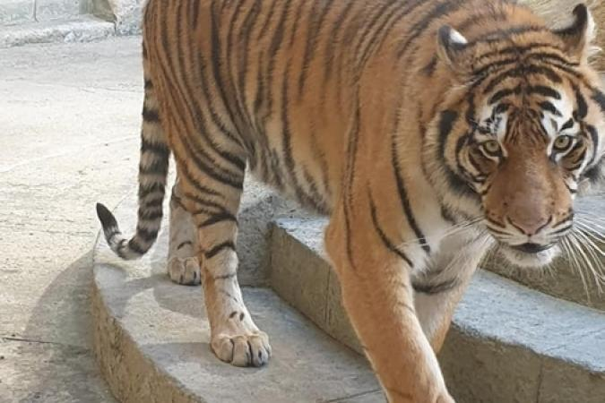 Fort Boyard 2019 - Tigre dans la Salle du Trésor (après les tournages)