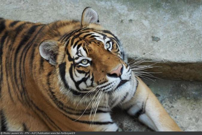 Fort Boyard 2020 : Les tigres