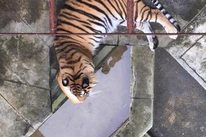 Fort Boyard 2020 - Un tigre au repos (11/07/2020)