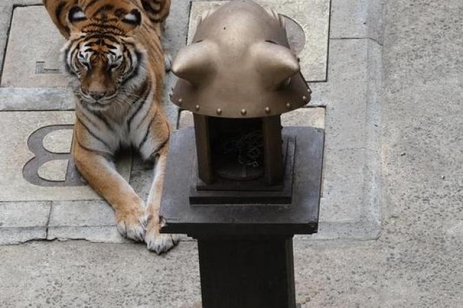 Fort Boyard 2021 - Un tigre devant la tête de tigre