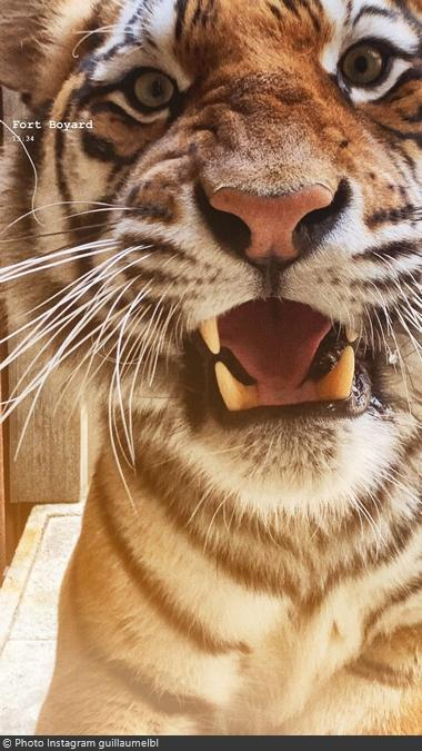 Fort Boyard 2021 - Un tigre très près (20/05/2021)
