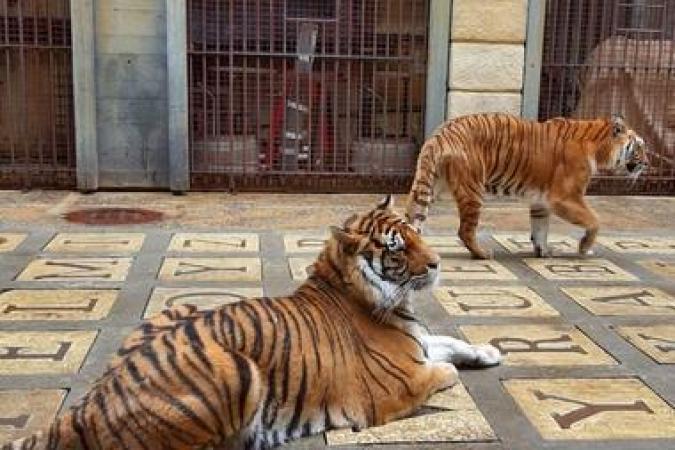 Fort Boyard 2021 - Les tigres de la Salle du Trésor (29/05/2021)