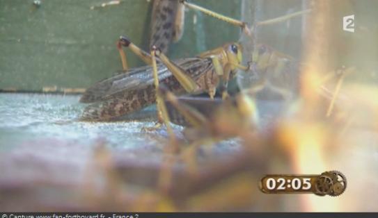 Les animaux de Fort Boyard - Les criquets et les sauterelles