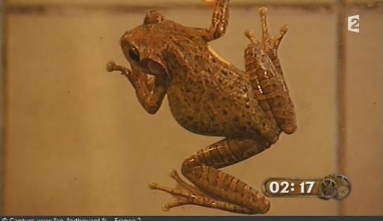 Les animaux de Fort Boyard - Les grenouilles