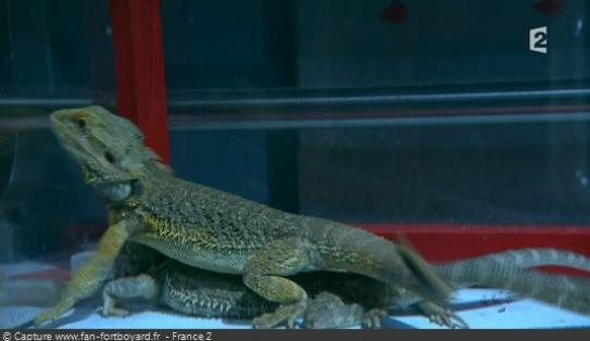 Les animaux de Fort Boyard - Les iguanes et les lézards