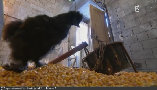 Les animaux de Fort Boyard - Les poules