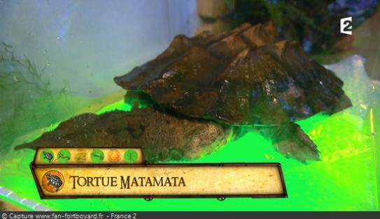 Les animaux de Fort Boyard - La tortue matamata
